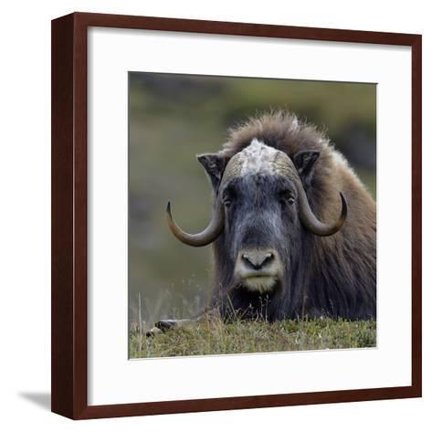 Musk Ox (Ovibos Moschatus) Portrait Whilst Resting, Nome, Alaska, USA, September-Loic Poidevin-Framed Art Print