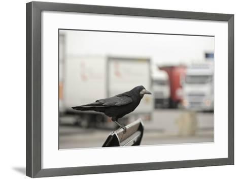 Rook (Corvus Frugilegus) Perched in Motorway Service Area, Midlands, UK, April-Terry Whittaker-Framed Art Print