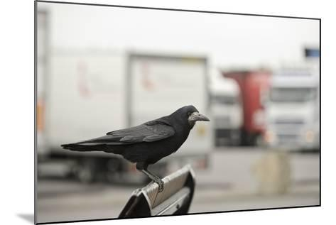 Rook (Corvus Frugilegus) Perched in Motorway Service Area, Midlands, UK, April-Terry Whittaker-Mounted Photographic Print