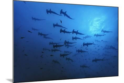 Schooling Scalloped Hammerhead Sharks (Sphyrna Lewini) Cocos Island National Park, Costa Rica-Franco Banfi-Mounted Photographic Print