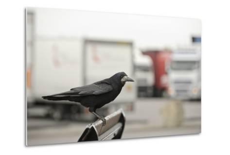 Rook (Corvus Frugilegus) Perched in Motorway Service Area, Midlands, UK, April-Terry Whittaker-Metal Print