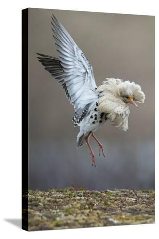 Satellite Male Ruff (Philomachus Pugnax) in Full Display at the Lek. Varanger, Finmark, Norway, May-Roger Powell-Stretched Canvas Print