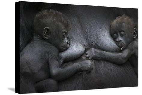 Western Lowland Gorilla (Gorilla Gorilla Gorilla) Twin Babies Age 45 Days Resting on Mother's Chest-Edwin Giesbers-Stretched Canvas Print