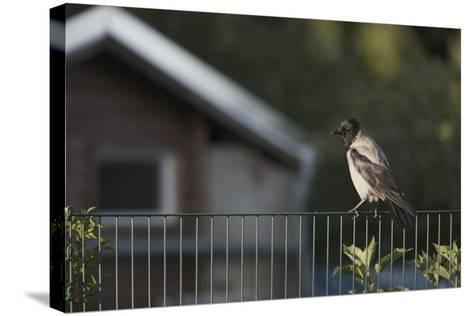 Hooded Crow (Corvus Cornix) Perched on a Garden Fence, Berlin, Germany, June-Florian Mã¶Llers-Stretched Canvas Print