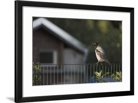 Hooded Crow (Corvus Cornix) Perched on a Garden Fence, Berlin, Germany, June-Florian Mã¶Llers-Framed Art Print