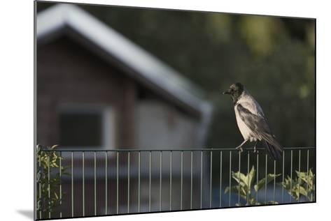 Hooded Crow (Corvus Cornix) Perched on a Garden Fence, Berlin, Germany, June-Florian Mã¶Llers-Mounted Photographic Print