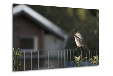 Hooded Crow (Corvus Cornix) Perched on a Garden Fence, Berlin, Germany, June-Florian Mã¶Llers-Metal Print