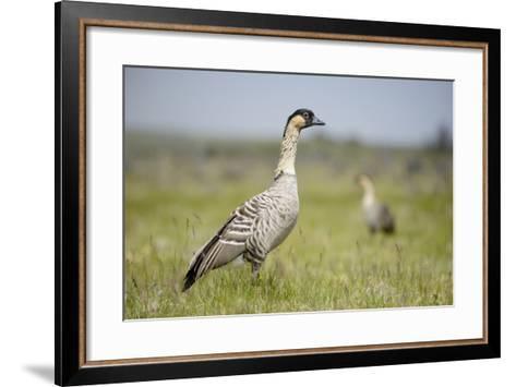 Nene - Hawaiian Goose (Branta Sandvicensis) Hawaii. April. Vulnerable Species-Gerrit Vyn-Framed Art Print