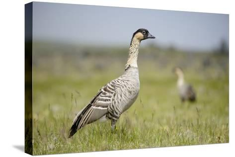 Nene - Hawaiian Goose (Branta Sandvicensis) Hawaii. April. Vulnerable Species-Gerrit Vyn-Stretched Canvas Print