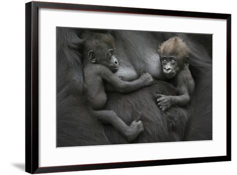 Western Lowland Gorilla (Gorilla Gorilla Gorilla) Twin Babies Age 45 Days Resting on Mother's Chest-Edwin Giesbers-Framed Art Print
