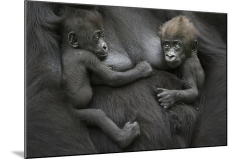 Western Lowland Gorilla (Gorilla Gorilla Gorilla) Twin Babies Age 45 Days Resting on Mother's Chest-Edwin Giesbers-Mounted Photographic Print