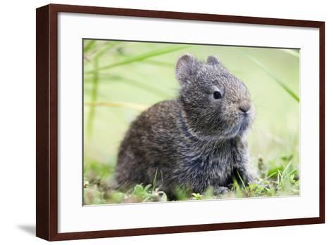 Volcano Rabbit (Romerolagus Diazi) Milpa Alta Forest-Claudio Contreras Koob-Framed Art Print