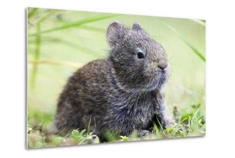 Volcano Rabbit (Romerolagus Diazi) Milpa Alta Forest-Claudio Contreras Koob-Metal Print