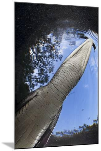 Morelet's Crocodile (Crocodylus Moreletii) in Sinkhole-Claudio Contreras-Mounted Photographic Print