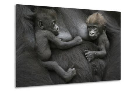 Western Lowland Gorilla (Gorilla Gorilla Gorilla) Twin Babies Age 45 Days Resting on Mother's Chest-Edwin Giesbers-Metal Print