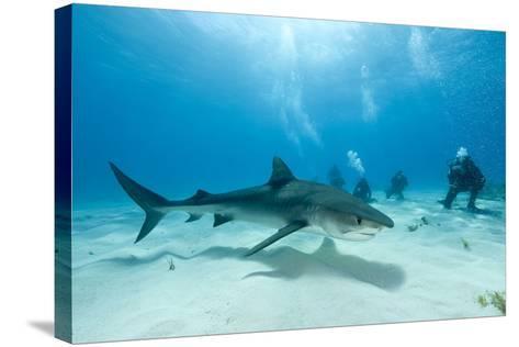 Scuba Diver and Tiger Shark (Galeocerdo Cuvier) Northern Bahamas, Caribbean Sea, Atlantic Ocean-Franco Banfi-Stretched Canvas Print