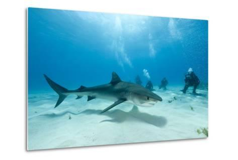 Scuba Diver and Tiger Shark (Galeocerdo Cuvier) Northern Bahamas, Caribbean Sea, Atlantic Ocean-Franco Banfi-Metal Print