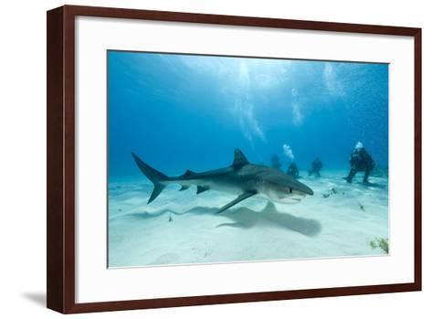 Scuba Diver and Tiger Shark (Galeocerdo Cuvier) Northern Bahamas, Caribbean Sea, Atlantic Ocean-Franco Banfi-Framed Art Print