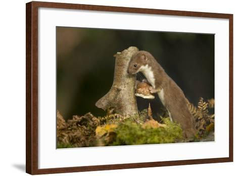 Weasel (Mustela Nivalis) Investigating Birch Stump with Bracket Fungus in Autumn Woodland-Paul Hobson-Framed Art Print