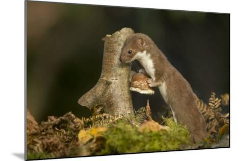 Weasel (Mustela Nivalis) Investigating Birch Stump with Bracket Fungus in Autumn Woodland-Paul Hobson-Mounted Photographic Print