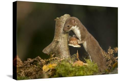 Weasel (Mustela Nivalis) Investigating Birch Stump with Bracket Fungus in Autumn Woodland-Paul Hobson-Stretched Canvas Print