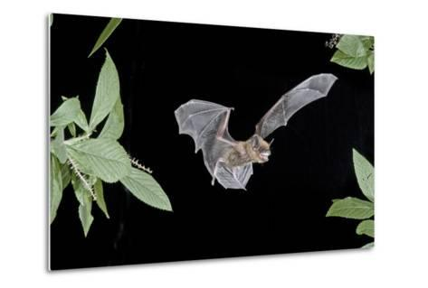 Evening Bat (Nycticeius Humeralis) in Flight with Mouth Open, North Florida, USA-Barry Mansell-Metal Print