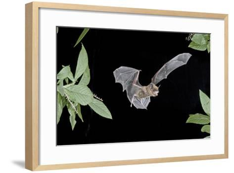 Evening Bat (Nycticeius Humeralis) in Flight with Mouth Open, North Florida, USA-Barry Mansell-Framed Art Print