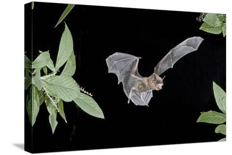 Evening Bat (Nycticeius Humeralis) in Flight with Mouth Open, North Florida, USA-Barry Mansell-Stretched Canvas Print