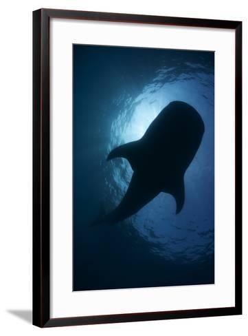 Whale Shark (Rhincodon Typus) Backlit, Isla Mujeres, Caribbean Sea, Mexico, August-Claudio Contreras-Framed Art Print