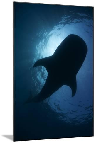 Whale Shark (Rhincodon Typus) Backlit, Isla Mujeres, Caribbean Sea, Mexico, August-Claudio Contreras-Mounted Photographic Print