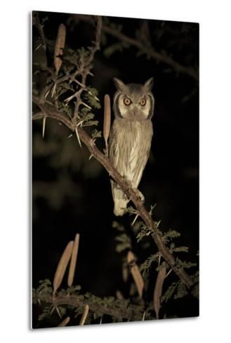 White Faced Scops Owl (Otus Leucotis) in a Candle-Pod Acacia (Acacia Hebeclada) at Night-Christophe Courteau-Metal Print
