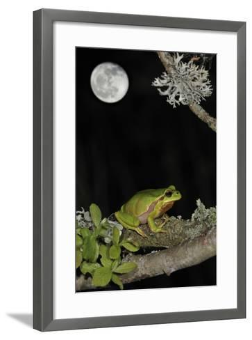 European - Common Tree Frog (Hyla Arborea) Sitting on Branch Covered in Lichen at Night-Philippe Clément-Framed Art Print