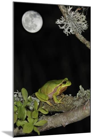 European - Common Tree Frog (Hyla Arborea) Sitting on Branch Covered in Lichen at Night-Philippe Clément-Mounted Photographic Print