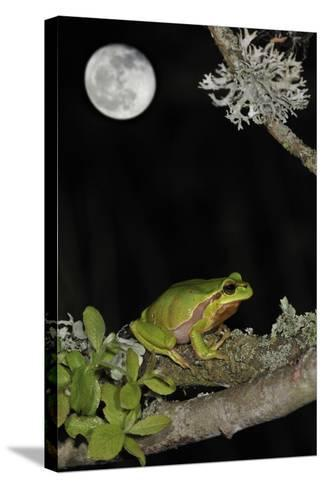 European - Common Tree Frog (Hyla Arborea) Sitting on Branch Covered in Lichen at Night-Philippe Clément-Stretched Canvas Print