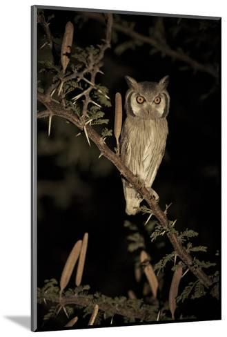 White Faced Scops Owl (Otus Leucotis) in a Candle-Pod Acacia (Acacia Hebeclada) at Night-Christophe Courteau-Mounted Photographic Print