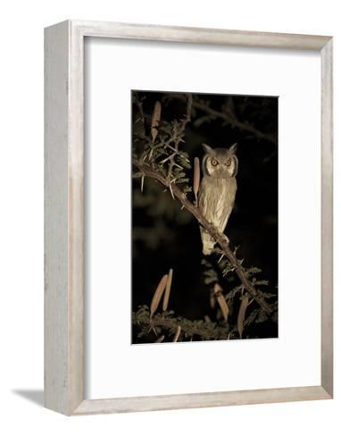 White Faced Scops Owl (Otus Leucotis) in a Candle-Pod Acacia (Acacia Hebeclada) at Night-Christophe Courteau-Framed Art Print
