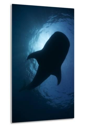 Whale Shark (Rhincodon Typus) Backlit, Isla Mujeres, Caribbean Sea, Mexico, August-Claudio Contreras-Metal Print