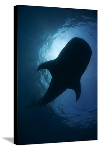 Whale Shark (Rhincodon Typus) Backlit, Isla Mujeres, Caribbean Sea, Mexico, August-Claudio Contreras-Stretched Canvas Print