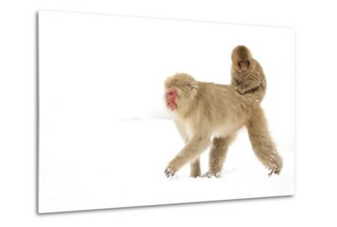 Japanese Macaque (Macaca Fuscata) Carrying Young on Back Through Snow, Nagano, Japan, February-Danny Green-Metal Print