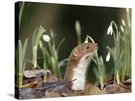 Weasel (Mustela Nivalis) Looking Out of Hole on Woodland Floor with Snowdrops-Paul Hobson-Stretched Canvas Print