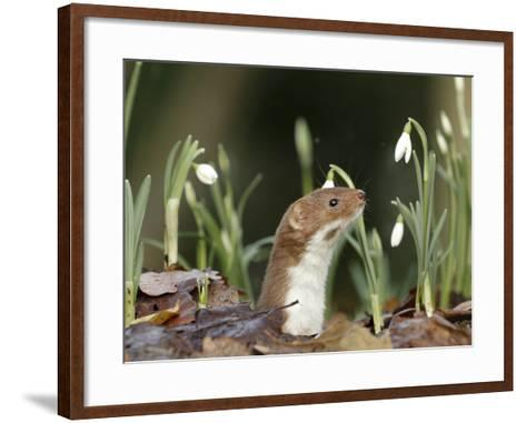 Weasel (Mustela Nivalis) Looking Out of Hole on Woodland Floor with Snowdrops-Paul Hobson-Framed Art Print