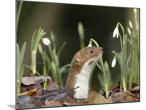 Weasel (Mustela Nivalis) Looking Out of Hole on Woodland Floor with Snowdrops-Paul Hobson-Mounted Photographic Print