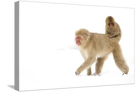 Japanese Macaque (Macaca Fuscata) Carrying Young on Back Through Snow, Nagano, Japan, February-Danny Green-Stretched Canvas Print