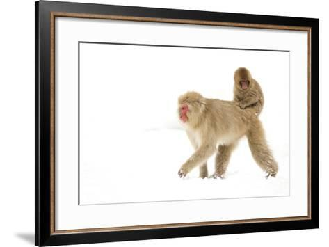 Japanese Macaque (Macaca Fuscata) Carrying Young on Back Through Snow, Nagano, Japan, February-Danny Green-Framed Art Print