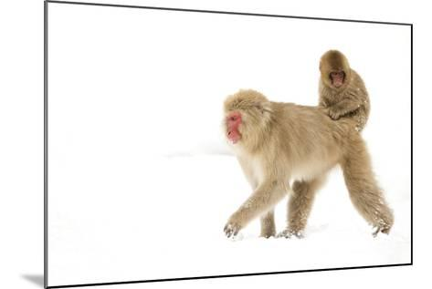 Japanese Macaque (Macaca Fuscata) Carrying Young on Back Through Snow, Nagano, Japan, February-Danny Green-Mounted Photographic Print