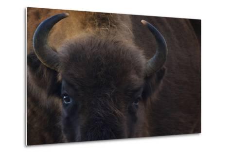 European Bison (Bison Bonasus) Close Up Portrait Showing Horns-Edwin Giesbers-Metal Print