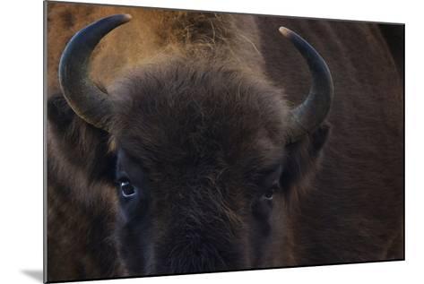 European Bison (Bison Bonasus) Close Up Portrait Showing Horns-Edwin Giesbers-Mounted Photographic Print