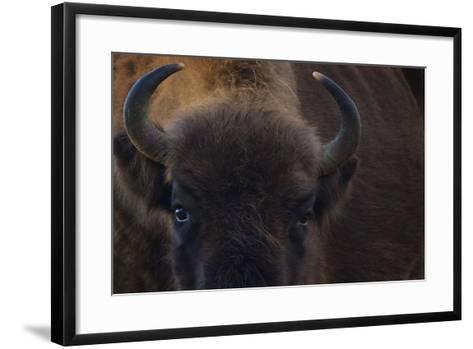 European Bison (Bison Bonasus) Close Up Portrait Showing Horns-Edwin Giesbers-Framed Art Print