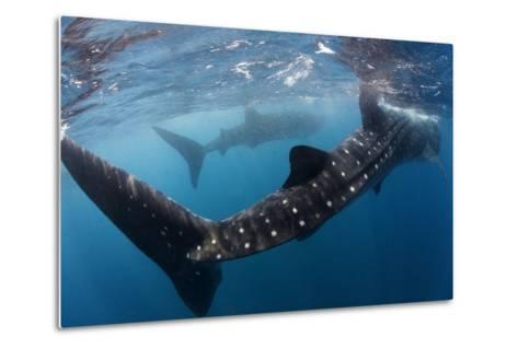 Whale Shark (Rhincodon Typus) Feeding View of Tail, Isla Mujeres, Caribbean Sea, Mexico, August-Claudio Contreras-Metal Print