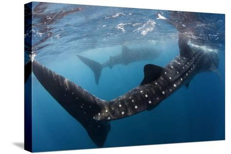 Whale Shark (Rhincodon Typus) Feeding View of Tail, Isla Mujeres, Caribbean Sea, Mexico, August-Claudio Contreras-Stretched Canvas Print